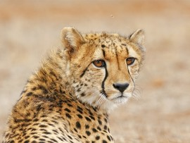 Amakhala Game Reserve Hlosi Game Lodge Cheetah3 Regular