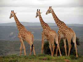 Amakhala Game Lodge Leeuwenbosch Country House Giraffe Regular