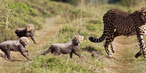 Amakhala Game Lodge Leeuwenbosch Country House Cheetah Cubs Room Size
