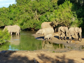 Amakhala Game Lodge Leeuwenbosch Country House Elephants Bathing Regular